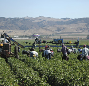 Migrant farm workers harvesting yellow bell peppers near Gilroy, California. Crews like this may include illegal immigrant workers as well as members of the United Farm Workers Union founded by Cesar Chavez.